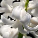 Prvý vánok Jari vďaka hyacintu!