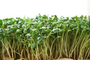 Žerucha – zelené zdravie z kvetináča!